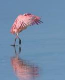 Spoonbill rosado foto de archivo