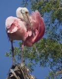 Spoonbill rosado Imagen de archivo libre de regalías