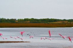 Spoonbill rosado Foto de archivo libre de regalías