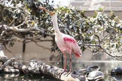 Spoonbill rosado Imagen de archivo
