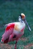 Spoonbill rosado Fotografía de archivo libre de regalías