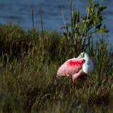 Spoonbill rosado, ajaja de Ajaja Fotos de archivo libres de regalías