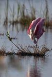 Spoonbill rosado, ajaja de Ajaja Foto de archivo libre de regalías