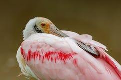 Spoonbill rosado, Colhereiro fotografía de archivo