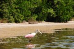 Spoonbill rosado en agua cerca de la playa Fotos de archivo