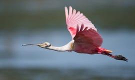 Spoonbill rosado en el agua imagenes de archivo