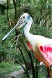 Spoonbill rosado en el ajuste tropical fotos de archivo