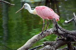 Spoonbill rosado en la exhibición en un parque zoológico de la Florida imagen de archivo