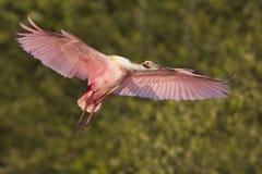 Spoonbill rosado en vuelo Foto de archivo libre de regalías