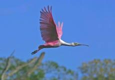Spoonbill rosado en vuelo Imagen de archivo