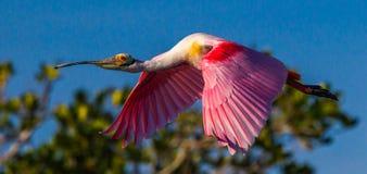 Spoonbill rosado en vuelo Fotografía de archivo libre de regalías