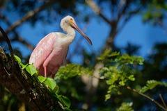 Spoonbill rosado - pájaro que vadea gregario del ajaja del Platalea del Ibis y de la familia del spoonbill, Threskiornithidae fotos de archivo libres de regalías