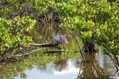 Spoonbill rosado que mantiene fresco la sombra Fotos de archivo libres de regalías