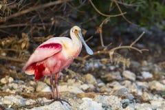 Spoonbill rosado que se coloca en roca de la línea de la playa Imágenes de archivo libres de regalías