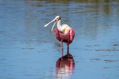 Spoonbill rosado que vadea en el lago fotografía de archivo