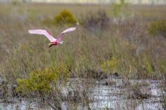 Spoonbill rosado que vuela imagen de archivo libre de regalías