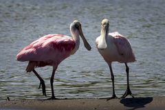 Spoonbill, Roseate Spoonbill on a sandbar at the river stock image