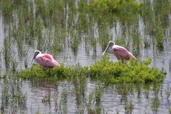 Spoonbill Roseates Stock Photos