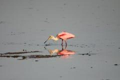 Spoonbill roseo fotografie stock libere da diritti