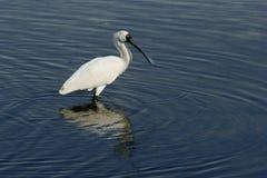 Spoonbill. Royal Spoonbill(Platalea regia) feeding in waters off Bribie Island Qld Stock Photos