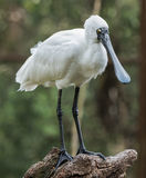 Spoonbill. Royal spoobill standing on log Royalty Free Stock Images