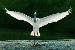 Spoonbill skrzydła rozciągający Zdjęcie Royalty Free
