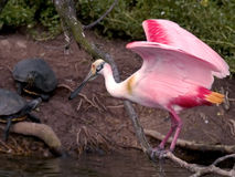 Spoonbill and Sliders. Roseate Spoonbill and Slider turtles.  Shot at the rookery on High Island, Texas Stock Photos
