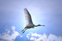 Spoonbill-Storch - afrikanischer wilder Vogel-Hintergrund - Fliegen-Licht und Blau Stockfotos
