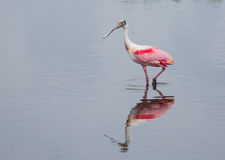 Spoonbill on a Stroll Royalty Free Stock Image