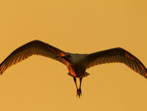 A Spoonbill at sunset in Poda PA Royalty Free Stock Images