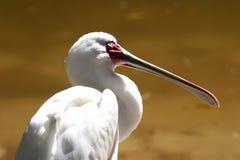 Spoonbill vogel Royalty-vrije Stock Foto's