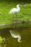 Spoonbill vogel stock afbeeldingen