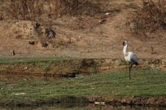 Spoonbill vogel stock fotografie