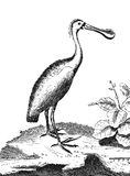 Spoonbill (wading bird) Stock Images