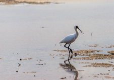 Spoonbill walking in the mud Stock Images