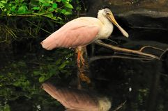Spoonbill in the water Stock Image