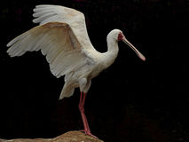 Spoonbill with wings spread. This spoonbill was photographed in South Africa. they are born with a short beak which develops into the large spoon-like beak when Royalty Free Stock Photo
