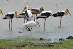 Spoonbilled stork med målade storkar Royaltyfria Bilder