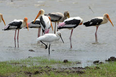 Spoonbilled Stork With Painted Storks Royalty Free Stock Images