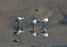 Spoonbills Royalty Free Stock Photo