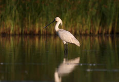 Spoonbills Stock Photography