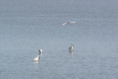Spoonbills in Dutch wadden sea Royalty Free Stock Photo