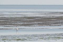 Spoonbills in Dutch wadden sea Stock Image