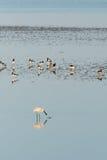 Spoonbills in Dutch wadden sea stock photography