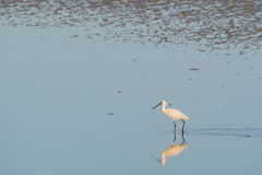 Spoonbills in Dutch wadden sea Royalty Free Stock Photography