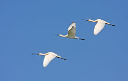 Spoonbills flying Stock Photography