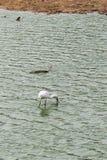 Spoonbills i den Yala nationalparken Arkivfoto