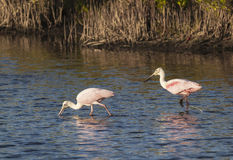 Spoonbills i mangrowe Obrazy Royalty Free