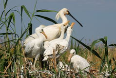 Spoonbills. Royalty Free Stock Images