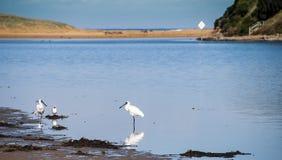 Spoonbills przy rzeką Zdjęcia Royalty Free